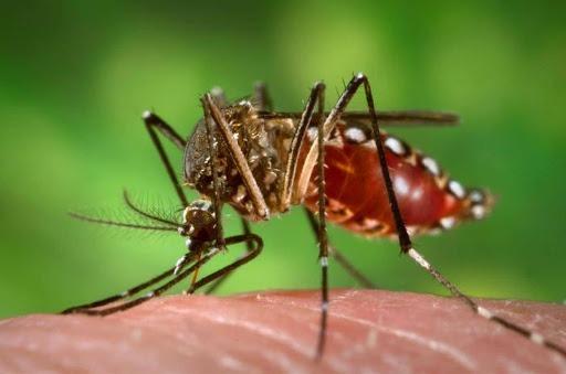 Muỗi vằn truyền một trong 4 chủng sốt xuất huyết (virus Dengue) từ người bệnh sang người khỏe mạnh
