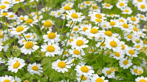 Cúc thơm